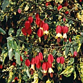 Garden World Images Search Abutilon