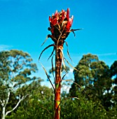 DORYANTHES EXCELSA, (GYMEA LILY)