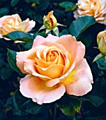 ROSA ALPINE SUNSET, (ROSE ALPINE SUNSET)