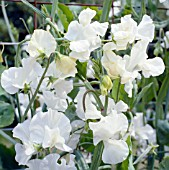 LATHYRUS ODORATUS ROYAL WEDDING, (SWEET PEA ROYAL WEDDING)