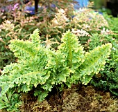 POLYPODIUM CAMBRICUM RICHARD KAYSE