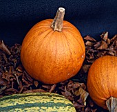 CUCURBITA PEPO TRIPLE TREAT, (PUMPKIN TRIPLE TREAT)