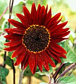 HELIANTHUS ANNUUS PRADO RED