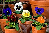 WINTER FLOWERING PANSIES IN CONTAINERS