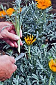 GAZANIA TALENT PROPAGATION,  TAKING CUTTINGS WITH KNIFE