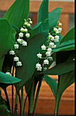 CONVALLARIA,  LILY OF THE VALLEY.