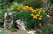 ESCHSHOLZIA CALIFORNICA IN SCREE BED WITH BETULASTUMP AND LOGS.
