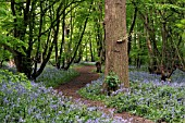 BLUEBELL WOOD,  HYACINTHOIDES NON SCRIPTUS