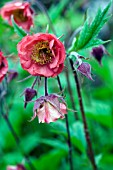 GEUM,  RIVALE (WATER AVENS)