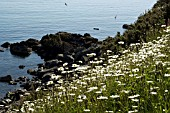 CORNWALL, COVERACK,  CHRYSANTHEMUM FRUTESCENS  (MARGUERITE)