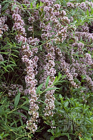 BUDDLEIA_ALTERNIFOLIA
