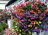 HANGING BASKETS,  PETUNIAS TUMBELINA CHERRY RIPPLE, SCAEVOLA BLUE WONDER WITH MIXED VERBENA,  DIASCIA, TRAILING PETUNIAS