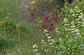 CENTRANTHUS RUBER AND CENTRANTHUS RUBER ALBUS, GROWING WILD