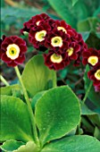 PRIMULA AURICULA,  BEARS EAR,  FLOWERS AND FOLIAGE