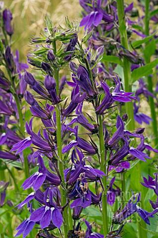 Abd261 Lobelia X Speciosa Vedrariensis Asset Details Garden