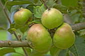 APPLE, MALUS X DOMESTICA;DUNNS SEEDLING