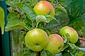 APPLE, MALUS X DOMESTICA; CHARLOTTE