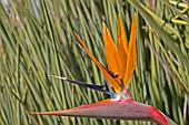 BIRD OF PARADISE, STRELITIZIA JUNCEA