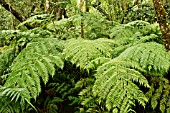 FOREST TREE FERN, CYATHEA CAPENSIS