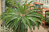 ENCEPHALARTOS ALTENSTEINII - FOR OVER 300 YEARS THIS PLANTS HAS BEEN POTTED
