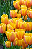 TULIPA WORLD PEACE
