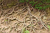 CONIFER EXPOSED ROOTS
