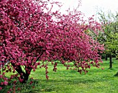 MALUS X PURPUREA ELEYI (APPLE TREE WITH FLOWERS)