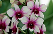 DENDROBIUM PHALAENOPSIS POLAR FIRE (ORCHID). COLLECTION VACHEROT-LECOUFLE
