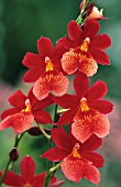 CAMBRIA NELLY ISLER OU BURRAGEARA (ORCHID). COLLECTION VACHEROT LECOUFLE