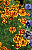 HELENIUM SEPTEMBERFUCHS (HELENIUM) AND ECHINOPS RITRO (CHARDON BALL)