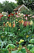 BORDER OF GLADIOLUS AND DAHLIA IN VEGETABLE GARDEN. PRIVATE GARDEN, MONTBERHAULT, FRANCE.