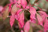 EUONYMUS ALATUS AGM,  THE WINGED SPINDLE,  AUTUMN FOLIAGE