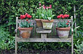 TERRACOTTA POTS OF FRINGED TULIPS ON WOODEN BENCH.