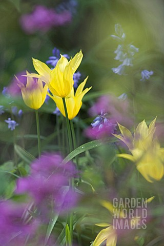 TULIPA_WEST_POINT_LILY_FLOWERED_WITH_HYACINTHOIDES_NON_SCRIPTA_ENGLISH_BLUEBELL__LUNARIA_ANNUA_HONES