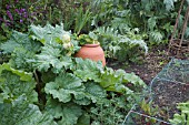 CULINARY RHUBARB,  WITH FLOWERS IN BUD,  NEXT TO TERRACOTTA FORCING POT IN KITCHEN GARDEN