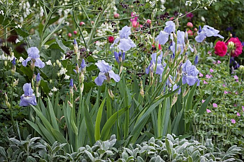 IRIS_JANE_PHILLIPS_WITH_STACHYS_BYZANTINA_CHRIS_BEARDSHAW_WORMCAST_GARDEN___GROWING_FOR_LIFE_AT_BOVE