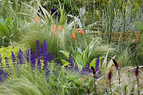 SALVIA_X_SYLVESTRIS_MAINACHT__STIPA_TENUISSIMA__TULIPA_BALLERINA__IRIS_SUPERSTITION_CANCER_RESEARCH_