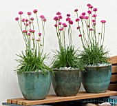 ARMERIA MARITIMA (SEA THRIFT) IN CERAMIC POTS ON WOODEN SHELF. MITIE GARDEN,  DES. JO PENN.