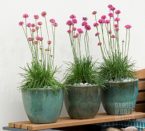 ARMERIA_MARITIMA_SEA_THRIFT_IN_CERAMIC_POTS_ON_WOODEN_SHELF_MITIE_GARDEN__DES_JO_PENN