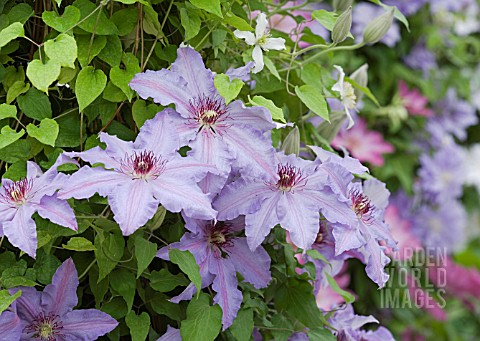 CLEMATIS_THE_FIRST_LADY