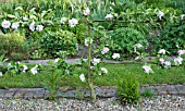 MALUS DOMESTICA LORD DERBY APPLE,   PLANTED AS ESPALIER