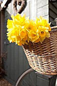NARCISSUS IN BICYCLE BASKET