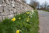 NARCISSUS AGAINST STONE WALL