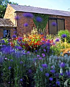 CROCOSMIA & VERBENA IN PERENNIAL BEDS AT BLACKPITTS FARM