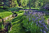 MASS PLANTING OF CAMASSIA LEICHTLINII BLUE DANUBE IN THE STREAM GARDEN AT CHANTICLEER GARDEN, PA