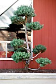 CLOUD PRUNED EVERGREEN CONIFER TREE IN SMALL BED CLOSE TO HOUSE WALL.