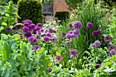 ALLIUM PURPLE SENSATION PAPAVER SOMNIFERUM AND ORNAMENTAL GRASS