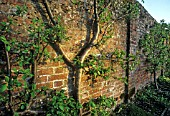 TRAINED FRUIT TREES AGAINST OLD BRICK WALL IN WALLED GARDEN, HAMPSHIRE.