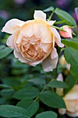 ROSA GRACE (AUSKEPPY)  BRED BY DAVID AUSTIN