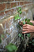 TRAINING A CLIMBING ROSE ON WIRE AGAINST BRICK WALL
